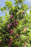 Plums on tree Royalty Free Stock Images