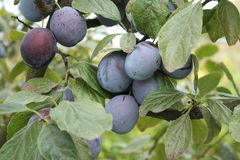Plums on a tree Stock Photos