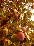Plums in tree Stock Image