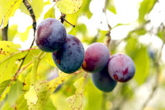 Plums on a tree. Black plums on a tree in a garden in the country side in Croatia in south Europe Royalty Free Stock Photography