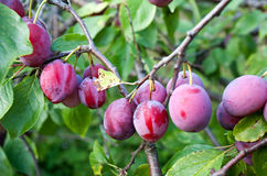 Plums on tree branch Royalty Free Stock Photo