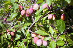 Plums on tree branch Royalty Free Stock Images
