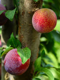 Plums on a tree branch Stock Photos