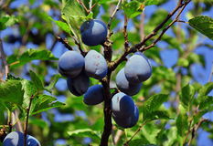 Plums on the tree Royalty Free Stock Photos