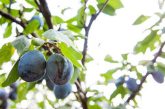 Plums tree Royalty Free Stock Images