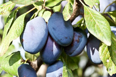 Plums on the tree. Fruit background. Stock Photography