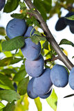 Plums on the tree. Fruit background. Royalty Free Stock Photos