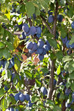 Plums on the tree. Fruit background. Royalty Free Stock Images