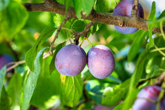 Plums on a tree Royalty Free Stock Images