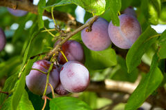 Plums on a tree Royalty Free Stock Photo