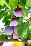 Plums on a tree Royalty Free Stock Photos