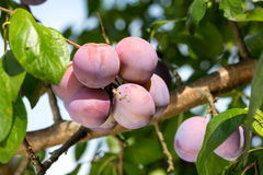 Plums on a tree Royalty Free Stock Photography