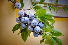 Plums on a tree in  garden Royalty Free Stock Photo