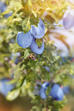 Plums on tree Stock Images