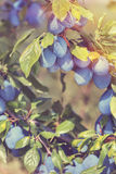 Plums on tree Stock Photography