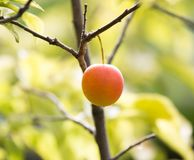Plums on the tree in nature Royalty Free Stock Images