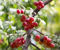 Plums on the tree in nature Stock Photos