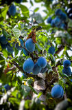 Plums on the tree. In orchard Stock Image