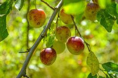 Plums on tree Plum fruit Royalty Free Stock Photo