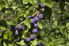 Plums on a tree. Purple plums on a tree Stock Photography
