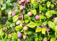 Plums on a tree Royalty Free Stock Image