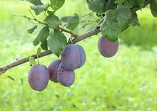 Plums on a tree. Some plums in a garden Royalty Free Stock Photos