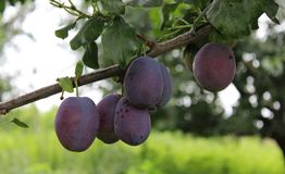 Plums on a tree. Some plums in a garden Royalty Free Stock Photo