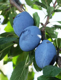Plums on a tree. Stock Photography