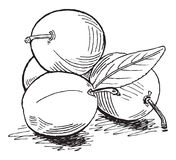 Plums. Vector hand drawn monochrome plums Stock Photos