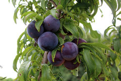 Plums from village Royalty Free Stock Photos