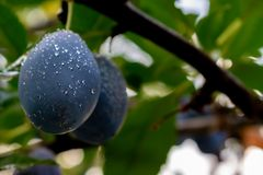 Plums with water drops hanging on a tree. Fresh ripe plums on the branch with leaves on Green background. Image stock photography
