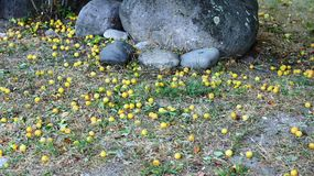 Plums. Which fell from the trees among the boulders Royalty Free Stock Images