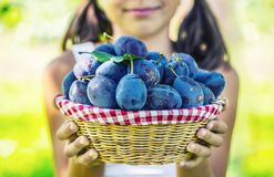 Plums. Young girl farmer holding basket with plums Royalty Free Stock Images