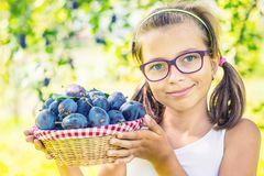 Plums. Young girl farmer holding basket with plums Stock Images