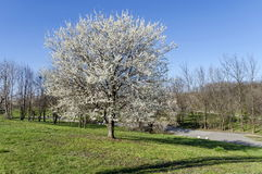 Plumtree in blossom through springtime in the park Stock Images