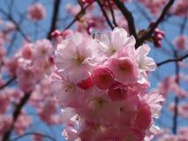 Plumtree salvaje en primavera en el sol Fotografía de archivo libre de regalías