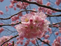 Plumtree selvagem na mola no sol imagens de stock royalty free