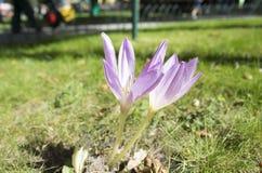 Plural do açafrão: os açafrões ou o croci são um gênero de plantas de florescência na família de íris Um único açafrão Açafrão na Imagens de Stock Royalty Free