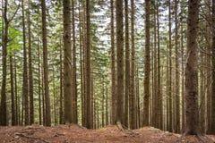 Pluralità di tronchi di albero verticali in una foresta nelle montagne della Romania immagini stock