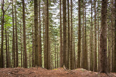Plurality of vertical tree trunks in a forest in the mountains of Romania.  stock images