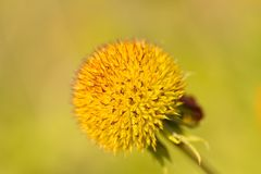 Pluriannuel de fleur couvrante Photos stock