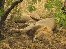 Plus docile de lion Image libre de droits