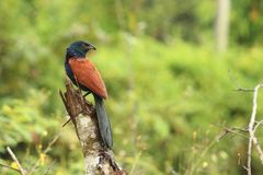 Plus grand coucal photos libres de droits