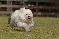 Plus grand Havanese Photos stock