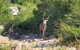 Greter Kudu en parc national de Kruger Image stock