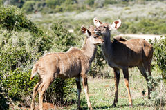 Plus grand Kudu femelle montrant un certains amour et affection Photo stock