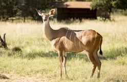 Plus grand Kudu femelle se tenant dans l'herbe dans un domaine Photographie stock