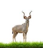 Plus grand kudu masculin avec l'herbe verte d'isolement image stock