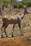 Plus grand Kudu, parc national de Kruger images libres de droits