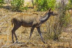 Plus grand Kudu, parc national de Kruger image libre de droits